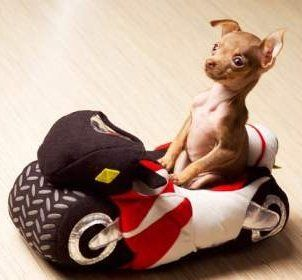 Helping Your Chihuahua Like Car Rides