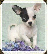 Chihuahua Breeders Exclusive List Of