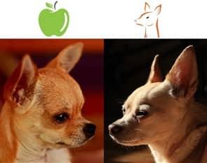 Le Head Vs Deer Chihuahuas