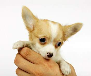 Perfect And Cute Names For Your Chi Puppy