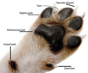 Chihuahua Paw Care