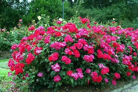 Knock Out Rose Garden Plant Deciduous Shrubs Chicago Garden