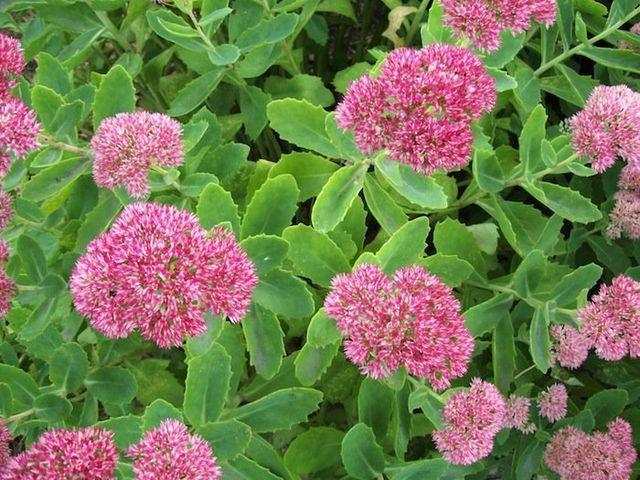 Sedum Garden Plant Perennials Chicago Garden Designers