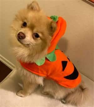 Pomeranian Costume Contest