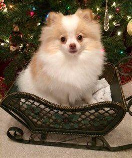 Parti Pomeranians Information And Photos