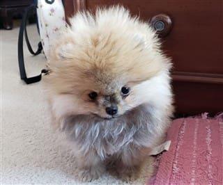 Pomeranian Size Pet Pom Information