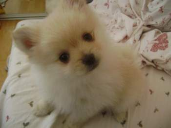 Can A Pomeranian Eat Eggs Snack Or Meal Addition