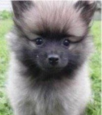 Know If Your Pomeranian Is A Purebred