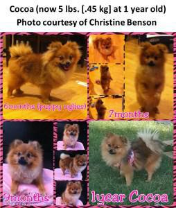 Age Of A Pomeranian Equivalency And