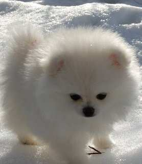 All About White Pomeranian Puppies And Dogs