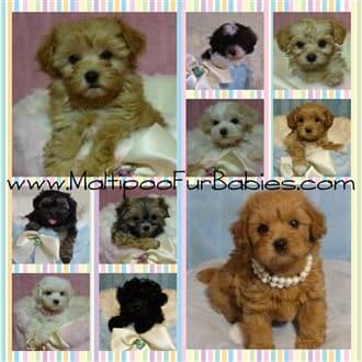 Maltipoo Dog Breeders Goldenacresdogs Com