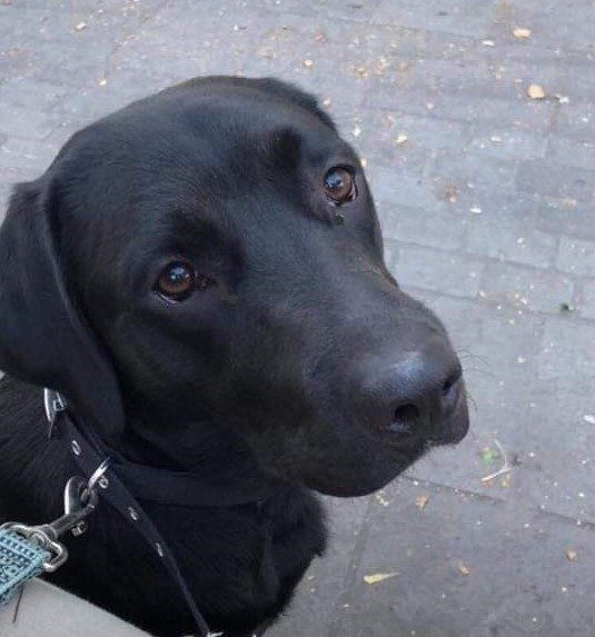 Rehoming Labradors Looking For A Home