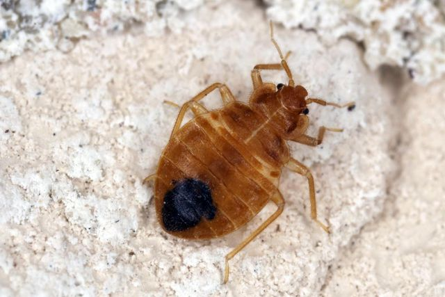 Bed Bugs Important Facts You Need To Know