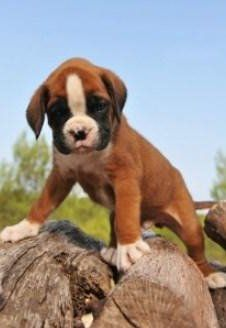 Boxer Dog House Training Sucessful Housebreaking