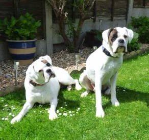 White Boxer Dogs Dog