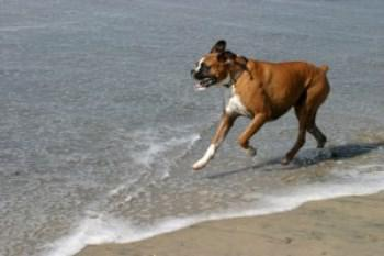 Boxer Dog Weight The