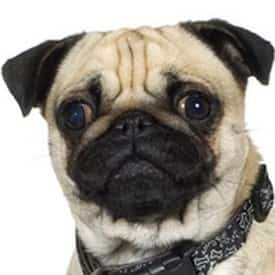 Pug Dog Ears Care Cleaning And Problems