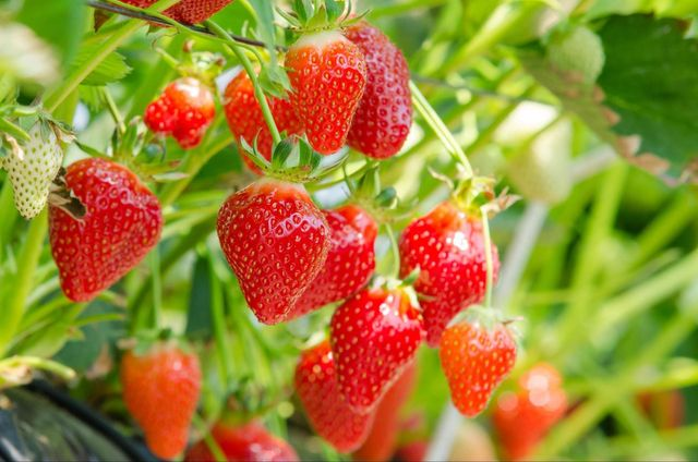 3 Health Benefits That Will Make You Love Hydroponic Strawberries Learning about crunch berries & green poop… my experience: love hydroponic strawberries