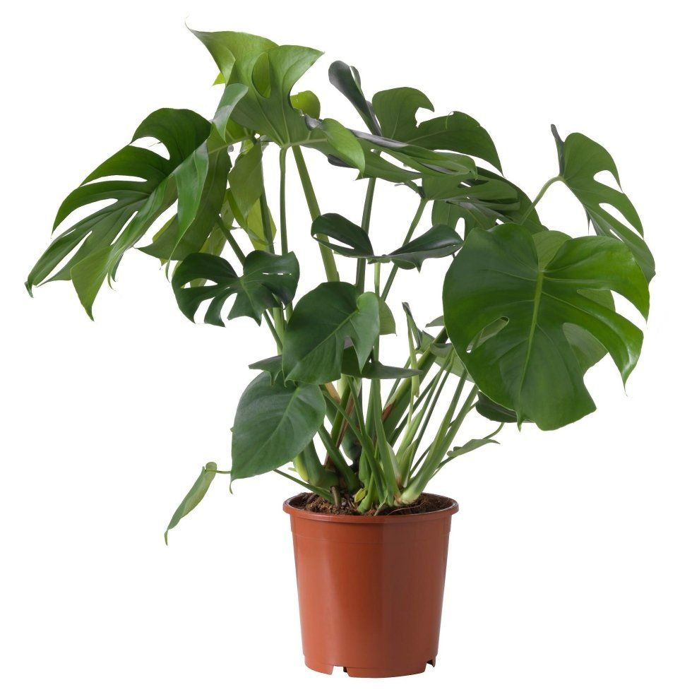 piante   Cascina, PI   Il Giardino
