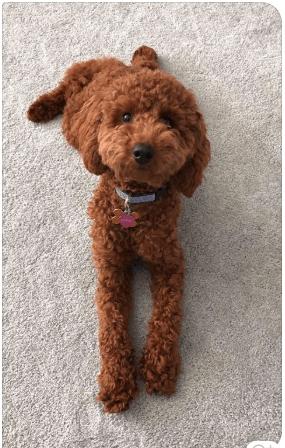 Toy Miniature Poodles