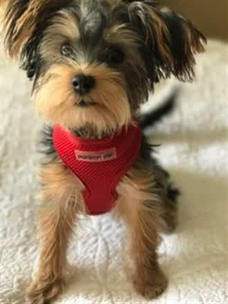 Yorkie wearing a red harness