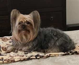 Adult Yorkie on owner's bed