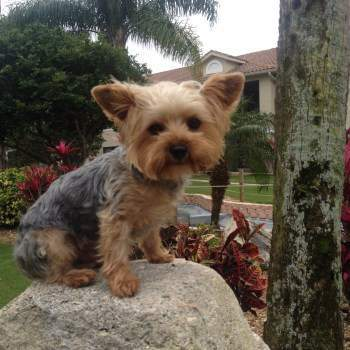 Yorkie Ears Yorkshire Terrier