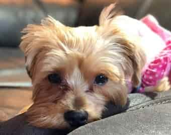 beautiful Yorkshire Terrier relaxing