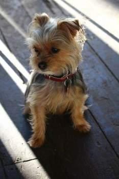 female adult Yorkshire Terrier