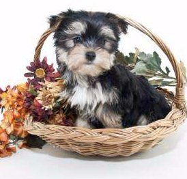 Teacup Miniature And Toy Size Yorkies