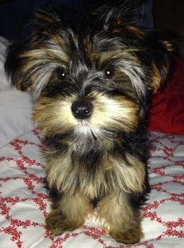 Yorkie Puppy Care Yorkshire Terrier