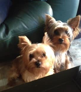 Introducing A Yorkshire Terrier To Another Dog In The Household