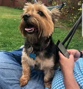 Yorkie Size Yorkshire Terrier