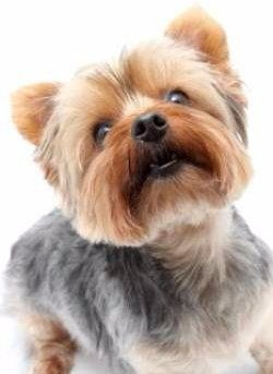 Details Of Yorkie Barking
