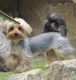 Yorkie Size Yorkshire Terrier