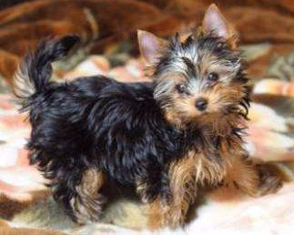 Yorkie Tails Docking Guidelines