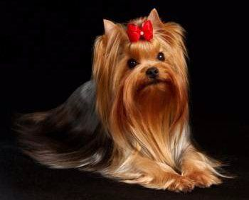 Yorkshire Terrier Dog Shows
