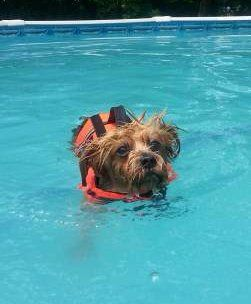 Yorkie dog swimming