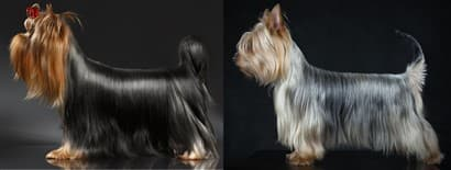 Yorkie vs Silky Terrier Color Differences