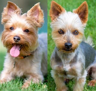 Yorkie vs Silky Terrier Facial Structure