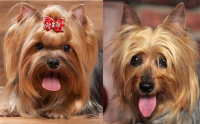 Yorkshire Terrier and Silky Terrier close up