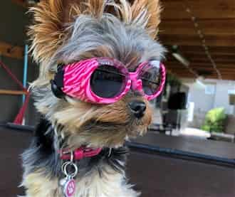 Yorkshire Terrier with sunglasses