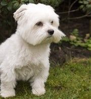 Maltese Common Health Issues And Breed