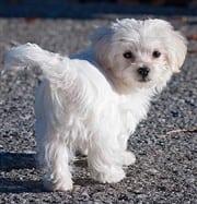 Maltese Puppy And Dog Behavior