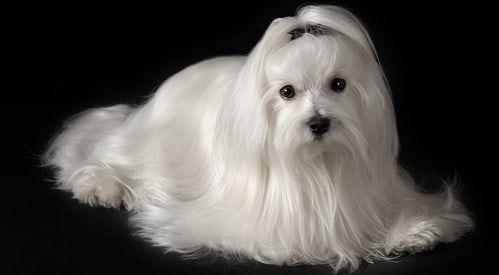 Groom A Maltese Puppy Or Dog