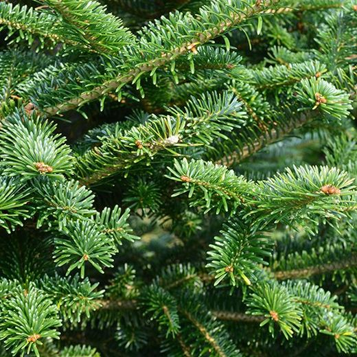 Pre Cut Christmas Tree Varieties Willey S Christmas Trees