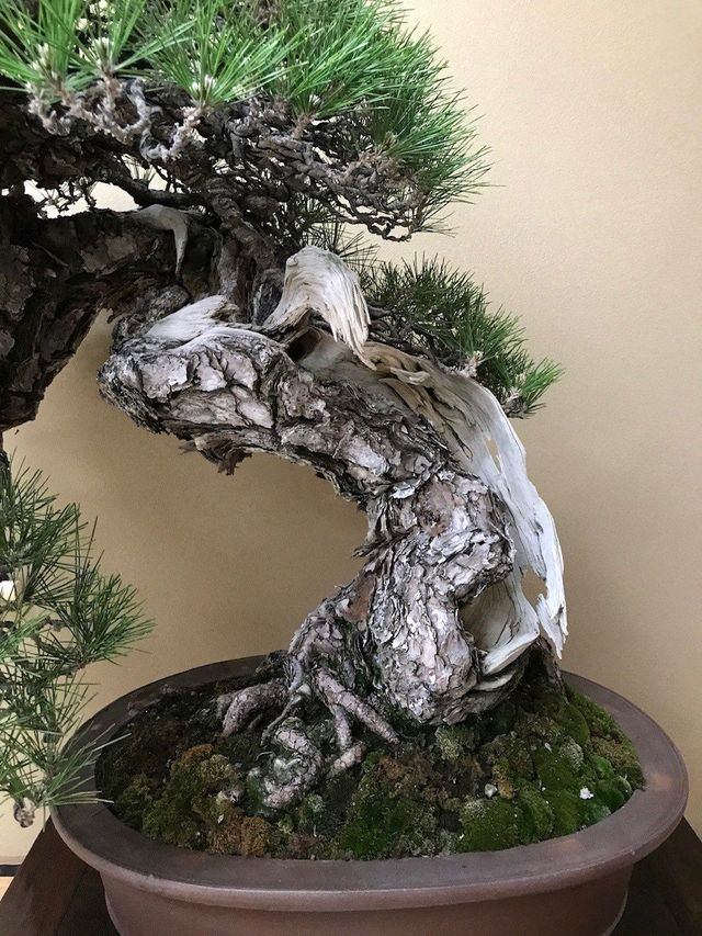 American Bonsai Society