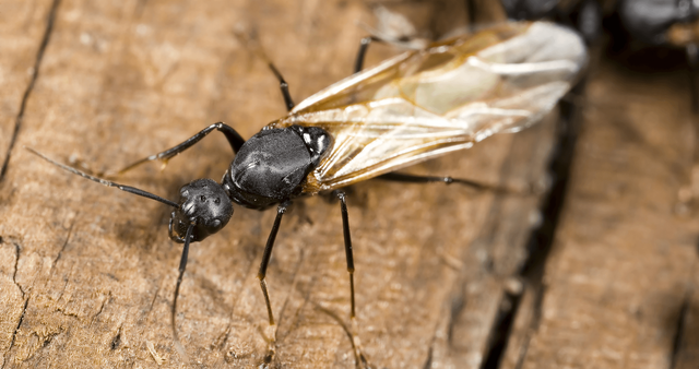 Are Carpenter Ants As Destructive As Termites