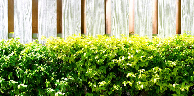 The Top Five Hedges For Southwest Florida