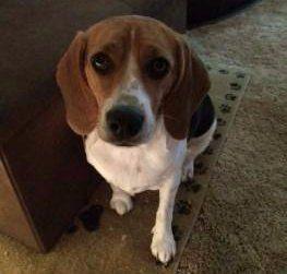 1.5 year old Beagle